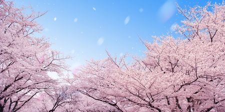 Row of cherry blossoms- Please look at my portfolio other kinds existの写真素材