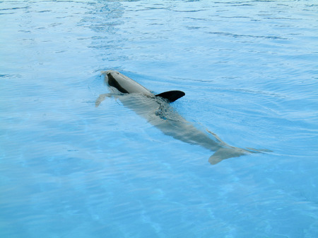Photo pour Caribbean reef shark on the surface of - image libre de droit