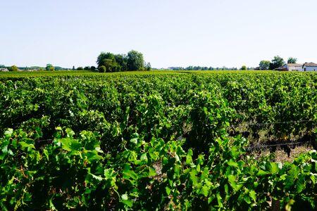 Vineyard landscape before harvest of Saint Emilion Bordeaux France