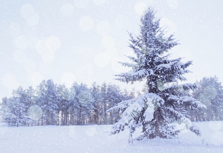Winter landscape - winter forest with snowy fir tree on the foreground during snowfall in cold weather. Cold tones processing. Winter picturesque scene with snowflakes