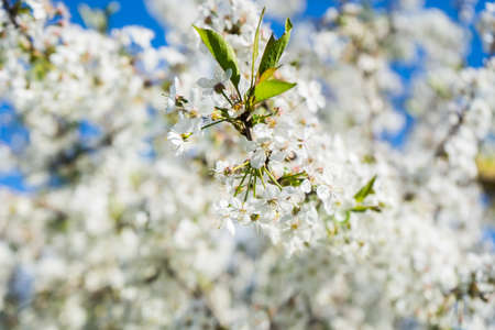 Photo pour blooming cherry in the spring garden. Bloom close up. White flowers of cherry blossomed. Orchard. High quality photo - image libre de droit
