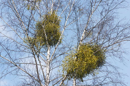 Photo pour Mistletoe on birch. Tree top after winter. Viscum parasite on white birch. In order to save the tree it needs to be removed. Blue sky nature landscape. - image libre de droit