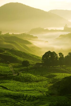 misty morning in tea farm at Cameron Highland Malaysia