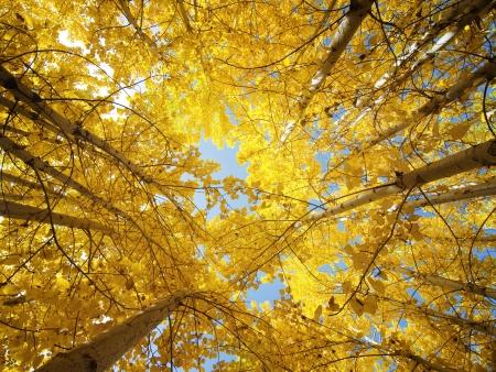 Photo pour Upward view of Fall Aspen Trees - image libre de droit