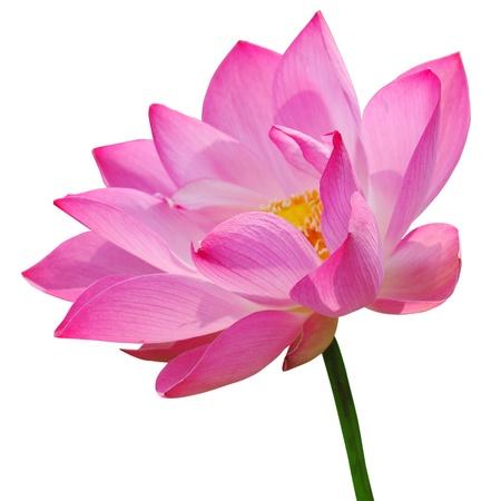 Photo pour Pink lotus on white background - image libre de droit