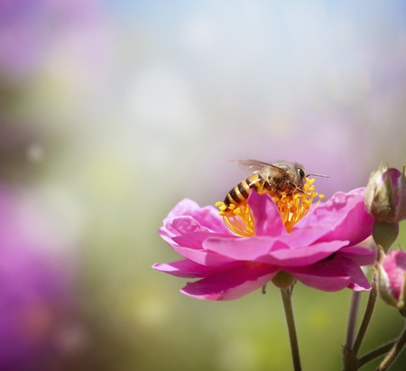 Foto de Close up bee collecting honey on pink flower - Imagen libre de derechos