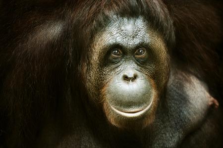Photo for Portrait of an Orang utan, Malaysia - Royalty Free Image