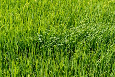Photo pour Paddy rice fields - image libre de droit