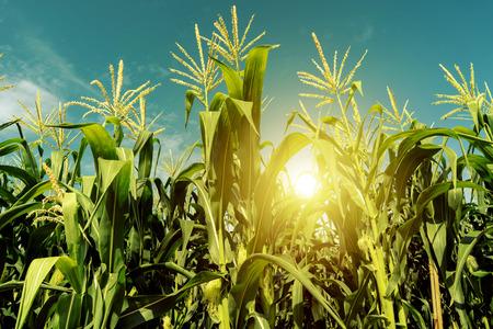 Photo pour Corn field plantation in sunrise. - image libre de droit