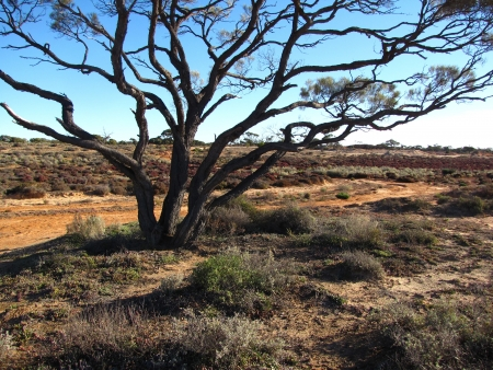isolated  tree in australian scrub outback, background