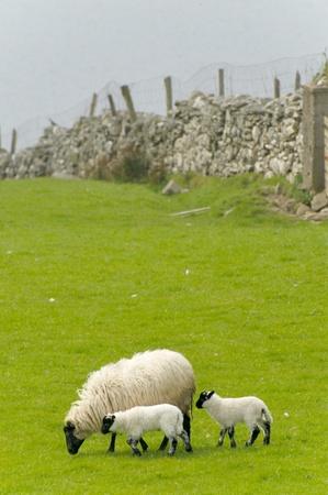 Irish sheep grazing at rural Ireland