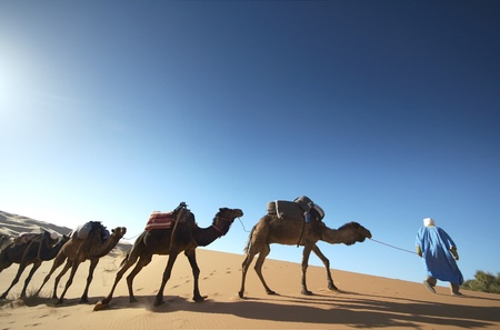 Camel caravan walking over sand dune at