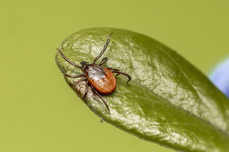 Foto de The castor bean tick (Ixodes ricinus) - Imagen libre de derechos