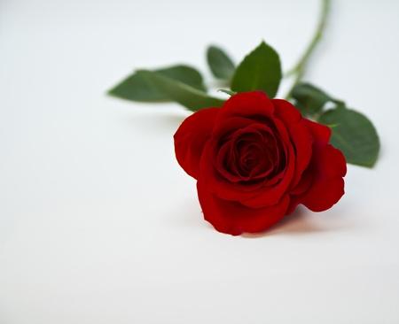 Fresh, red rose shot under soft lights