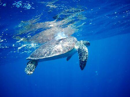 Photo pour Beautiful Green sea turtle in Marsa Alam, Egypt - image libre de droit