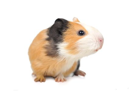 brown guinea pig on white isolatedの写真素材