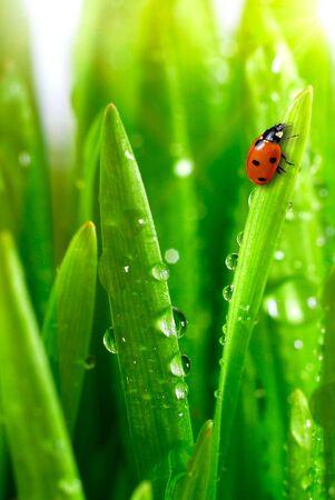 Photo pour fresh green grass with water drops close up - image libre de droit