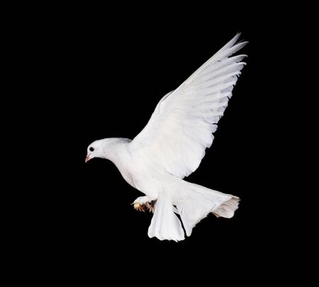 Beautiful white pigeon and female hand close up