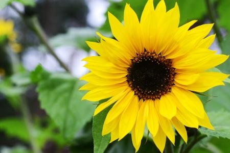 Big beautiful sunflowers gro