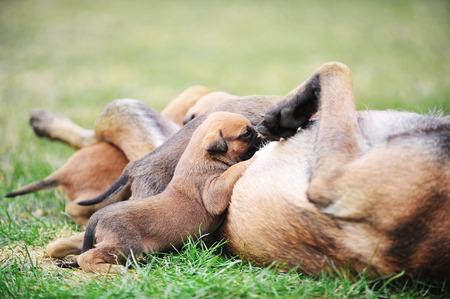 female dog of belgian shepherds malinois  with puppies