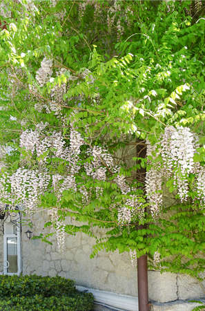 Photo for blooming white wisteria on the background of the wall of the house, selective focus. High quality photo - Royalty Free Image