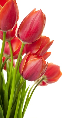 Fresh Beautiful Tulips / isolated on white / vertical with copy space