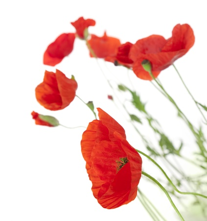 Photo pour Poppies isolated on white background / focus on the foreground / floral border - image libre de droit