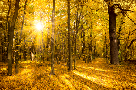 Photo for Gold Autumn landscape with sunlight and sunbeams -  Beautiful Trees in the forest, fall season - Royalty Free Image