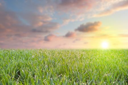 Photo for Fresh Grass with drops of dew overlooking colorful sky and sun at early morning, focus on the front - Royalty Free Image