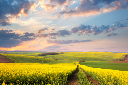 Foto für Yellow flowering fields, ground road and beautiful valley, nature spring landscape - Lizenzfreies Bild