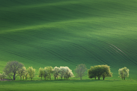 Photo pour Blossom Trees overlooking rolling hills with fields in sunset light suitable for backgrounds or wallpapers, natural minimalism landscape, South  Moravia, Europe - image libre de droit