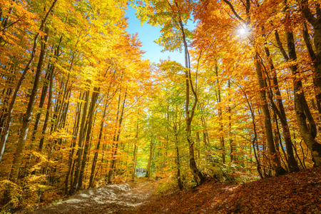 Photo pour Real Autumn forest background with sun - autumnal landscape with bright yellow leaves and trees in wild forest - image libre de droit
