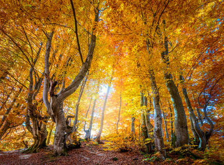 Photo pour Golden Autumn season in wild forest - vibrant leaves on trees, sunny weather and nobody, real fall nature landscape - image libre de droit