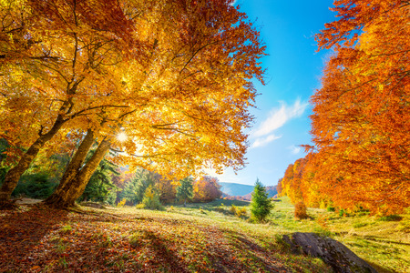 Photo for Warm and Golden Autumn in forest - colorful leaves and big trees, warm sunny day with blue sky - Royalty Free Image