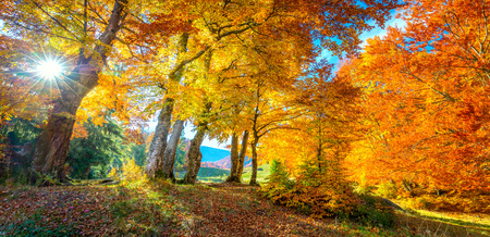 Photo pour Golden Autumn in forest - vibrant leaves on trees, real sunny weather and nobody, fall nature landscape, panoramic - image libre de droit