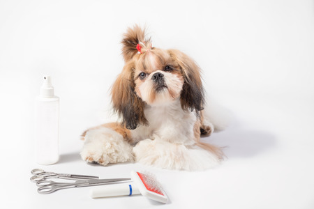 Well groomed Shih-tzu puppy - isolated on white