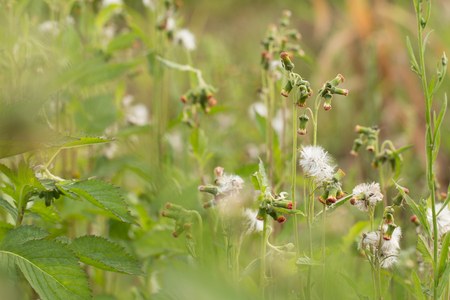 Close up of white meadow flowers in field or grass flower.