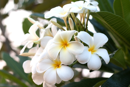 Frangipani Tropical Spa Flower. Plumeria flower on plant.