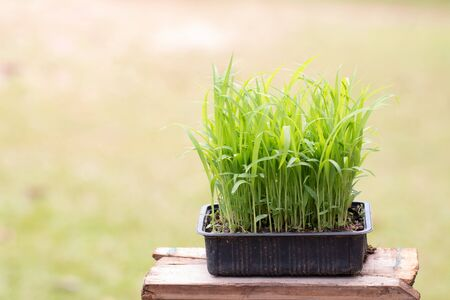 Closeup Millet seedlings sudangrass plant.