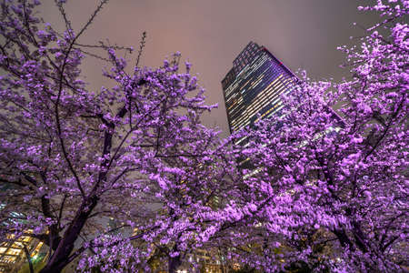 Cherry blossoms in Tokyoの素材 [FY310150701774]