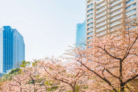 Cherry Blossoms in Tokyoの素材 [FY310150702388]