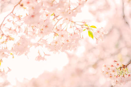 Photo for Cherry blossoms in full bloom - Royalty Free Image