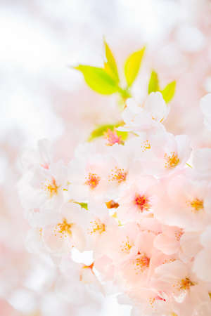 Cherry blossoms in full bloomの素材 [FY310150749400]