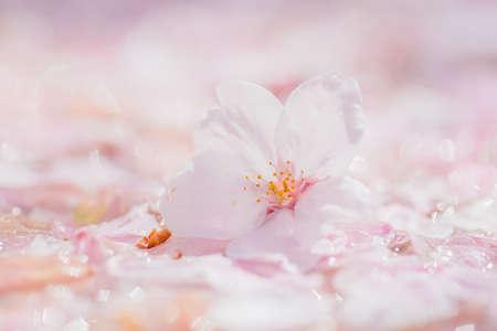 Photo pour Beautiful Cherry Blossoms - image libre de droit