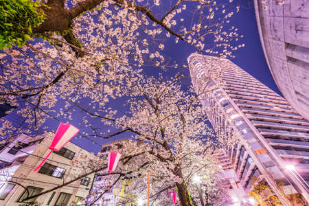 Night cherry blossoms in the cityの素材 [FY310150756067]
