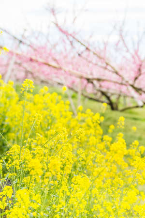 Rape blossoms and peach blossomsの素材 [FY310151436112]
