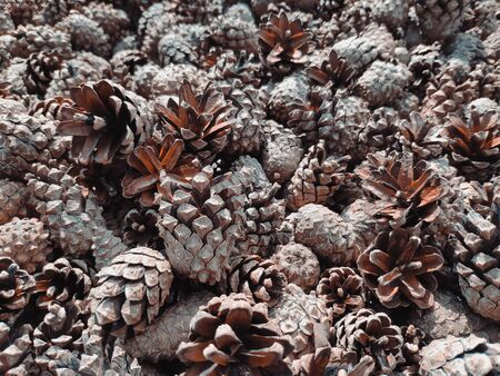 A pile of pine and spruce cones without seeds