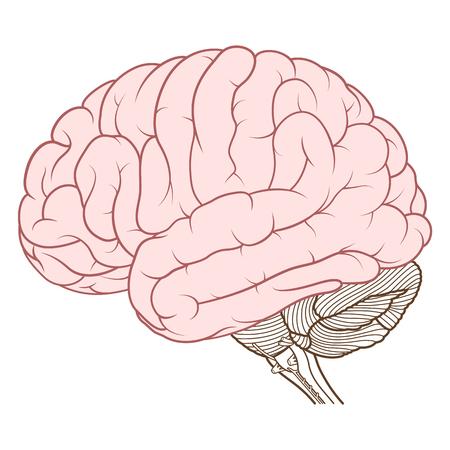 Illustration pour Vector Illustration ,Flat coloured Cerebrum of Human brain anatomy side view on white background - image libre de droit