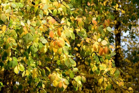 Bird cherry tree in autumn lit by the sun. Natural backgroundの素材 [FY310130988266]