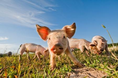 Pig standing on a pigfarm